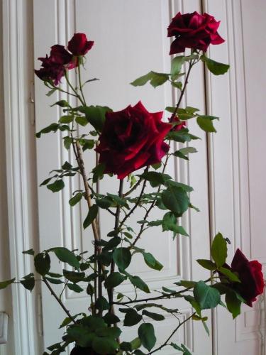 roses, fleurs