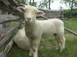 mouton-bebe.jpg